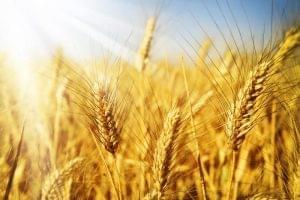 Продлена нулевая ставка вывозной пошлины на пшеницу